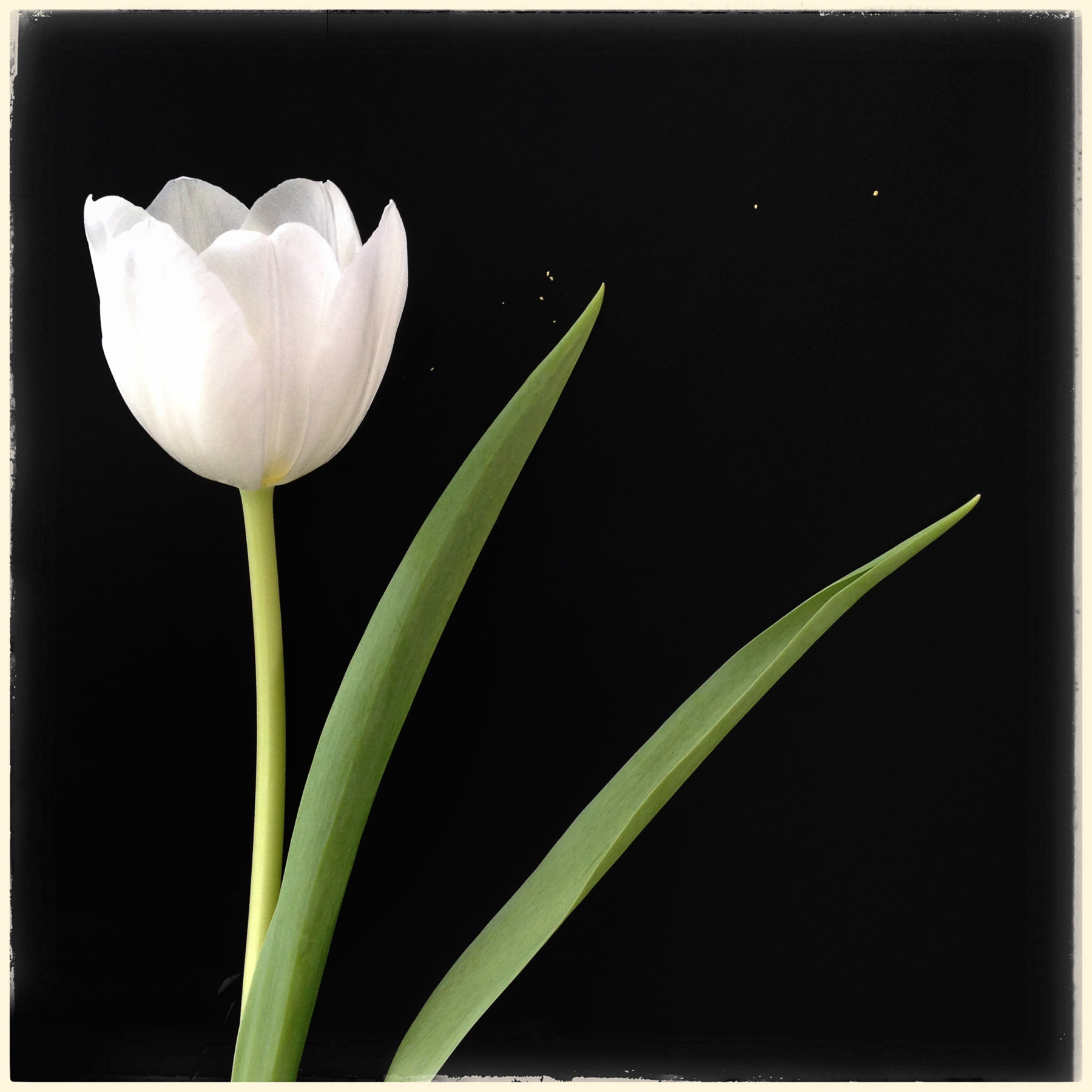 Single-white-Tulip.jpg