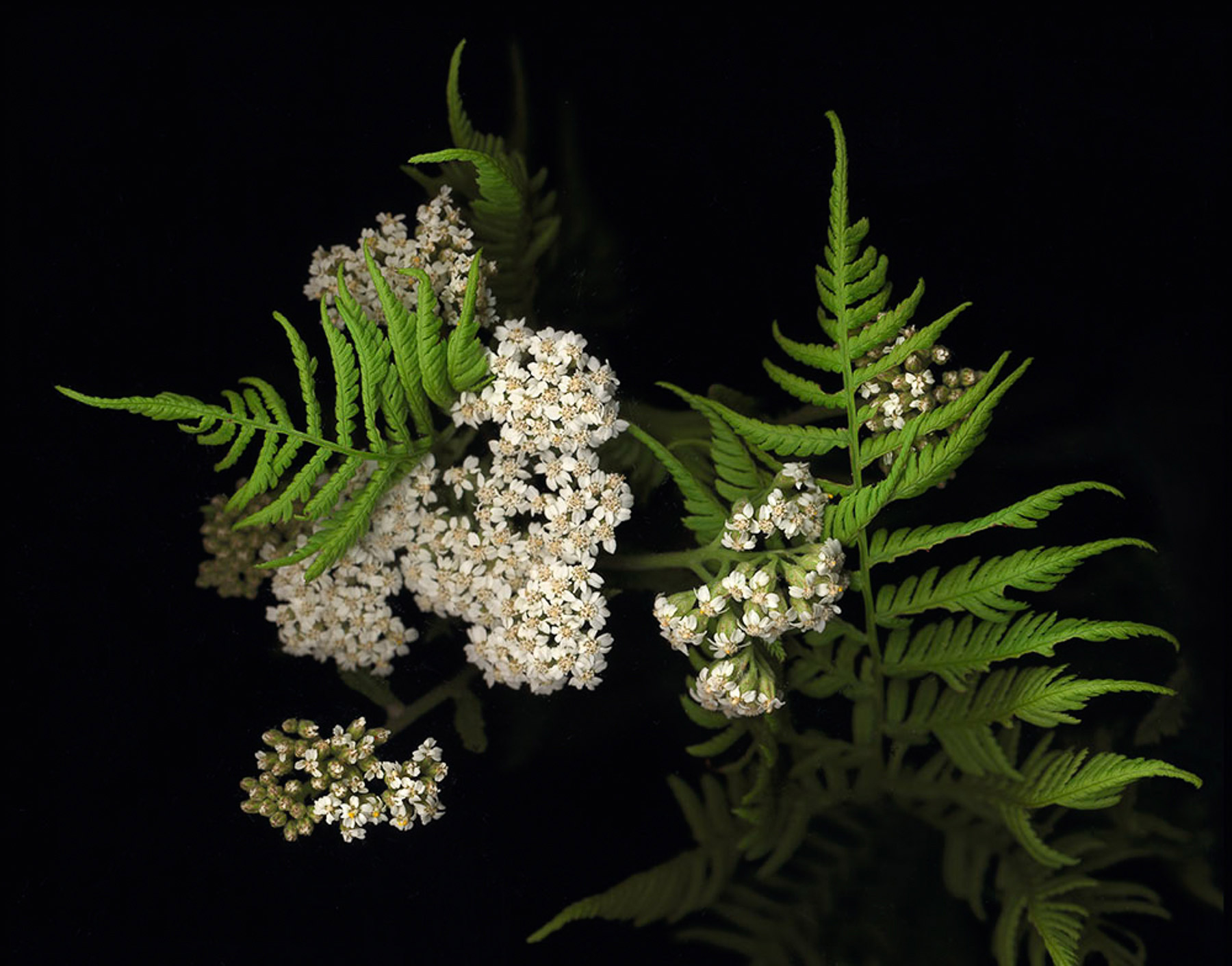 Fred Collins-Wild-Yarrow-&-Fern.jpg