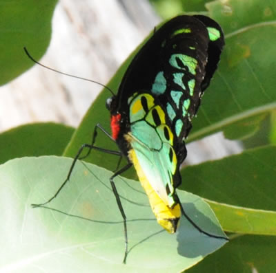 Colourful Butterfly - Iron Range National P, Cape York, Far North Queensland