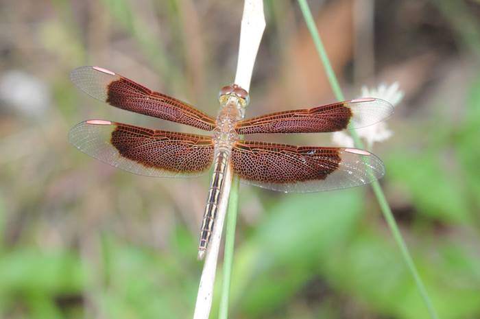 A Dragon Fly in the Iron Range National Park, Cape York.jpg