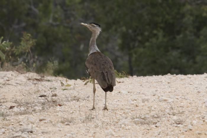 A varitiy of birds live in the Iron Range National Park, Cape York.jpg