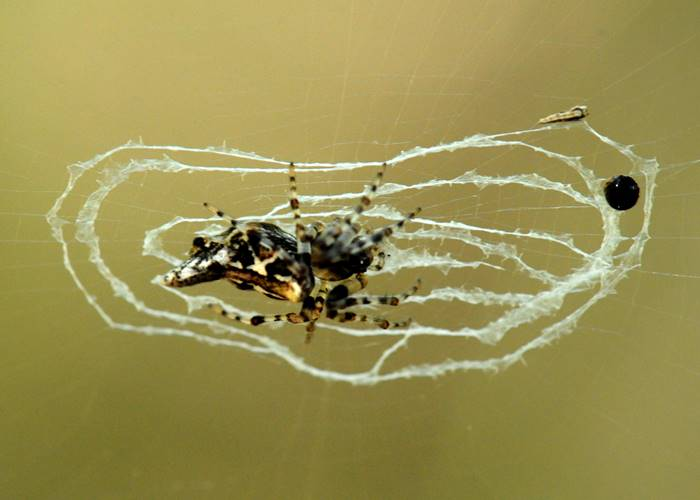A spider that lives at the Green Hoose, Lockhart River, Cape York.jpg
