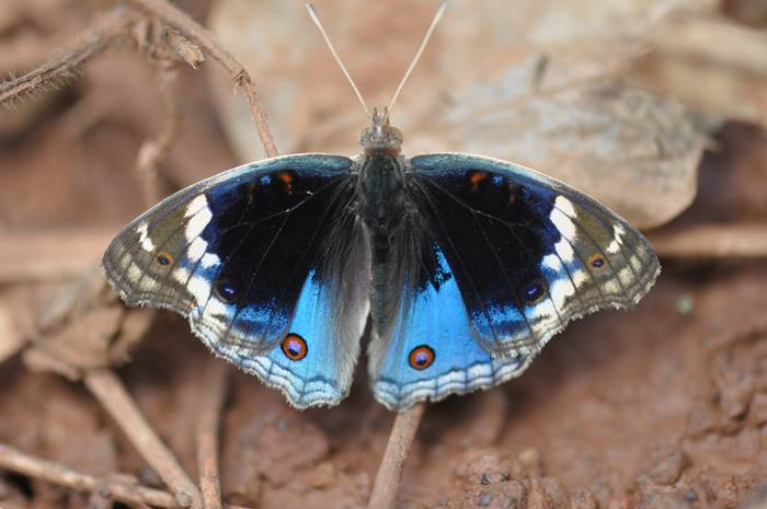 Another beautiful butterfly in the Iron Range National Park, Cape York .jpg