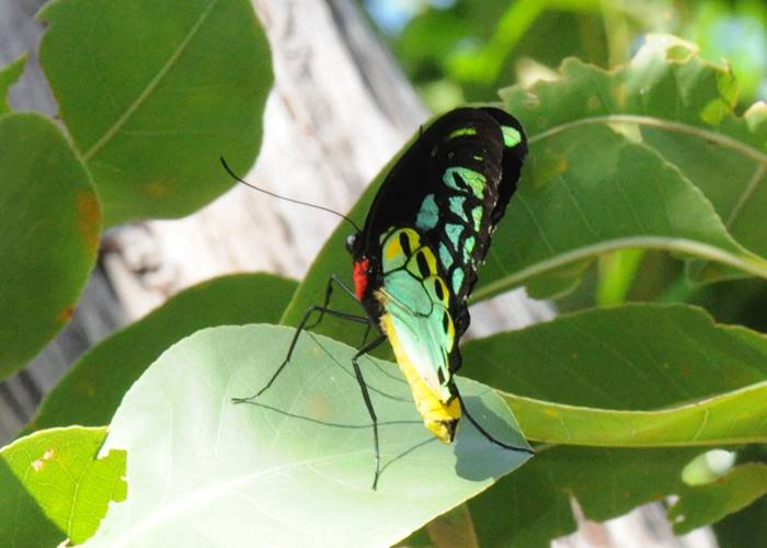 Colourful butterflies of Iron Range National Park, Cape York.jpg