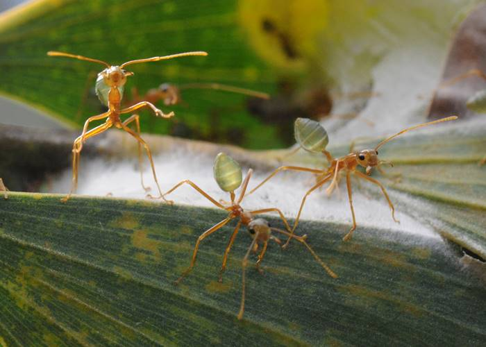 Green Ants going about the thing, Green Hoose, Lockhart River, Cape York.jpg