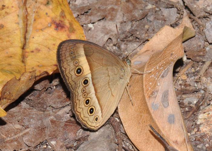 A butterfly on a leaf, Green Hoose, Lockhart River, Cape york.jpg