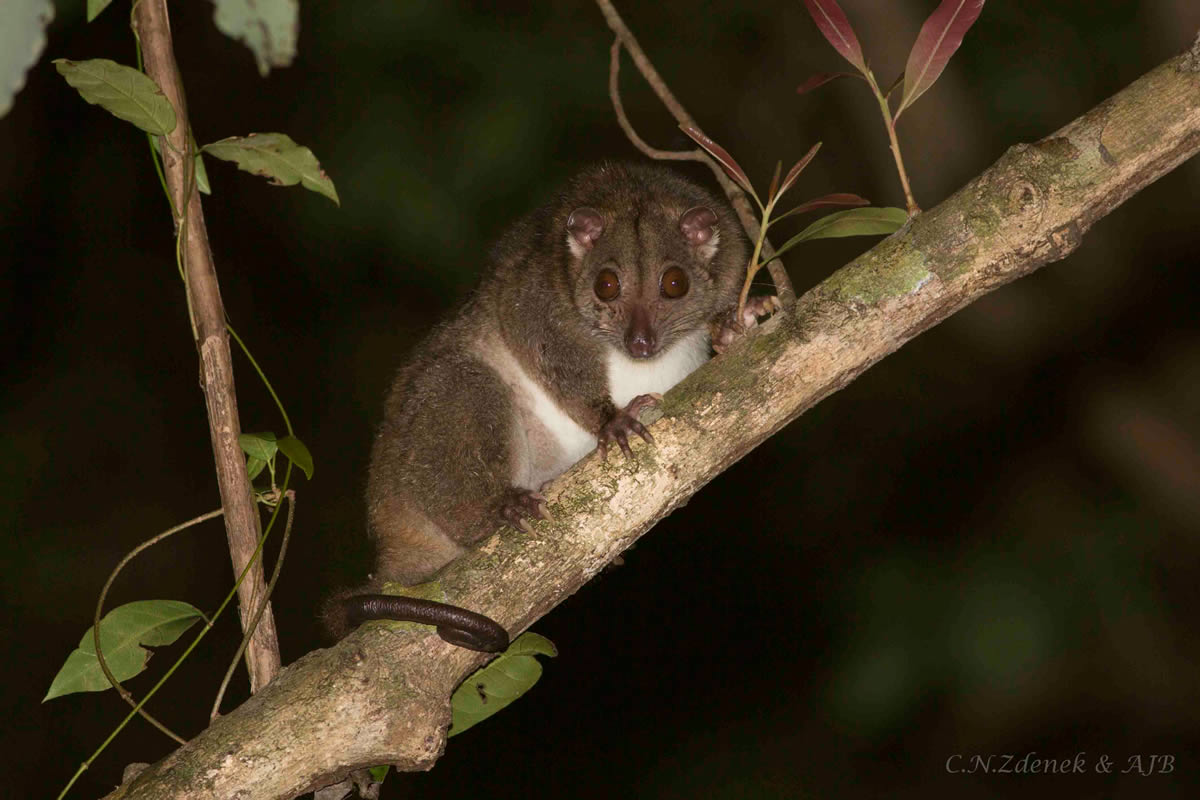 The Spotted (Grey) Cuscus (Spilocuscus maculatus)