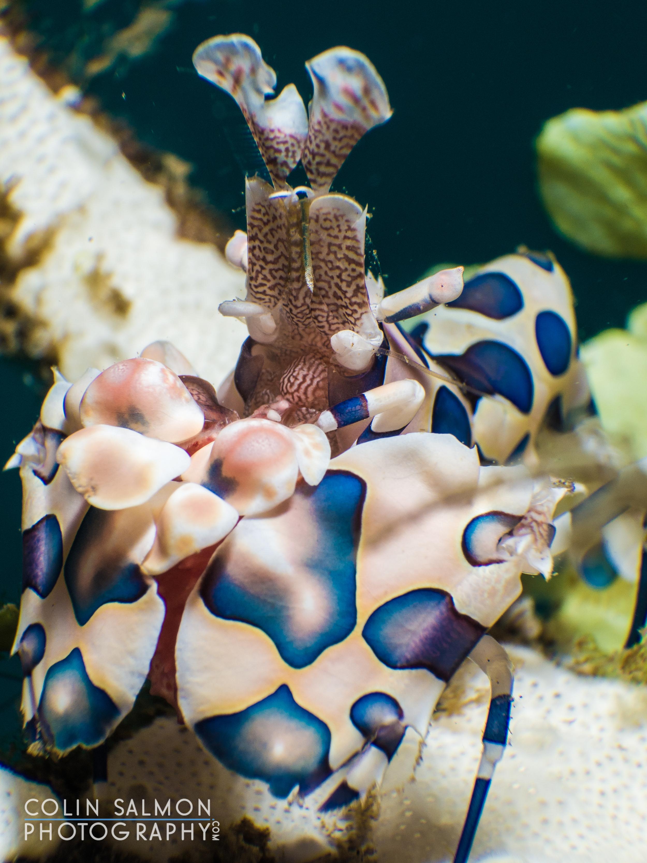 Harlequin shrimp  (Hymenocera picta)   -  Dauin,  Philippines