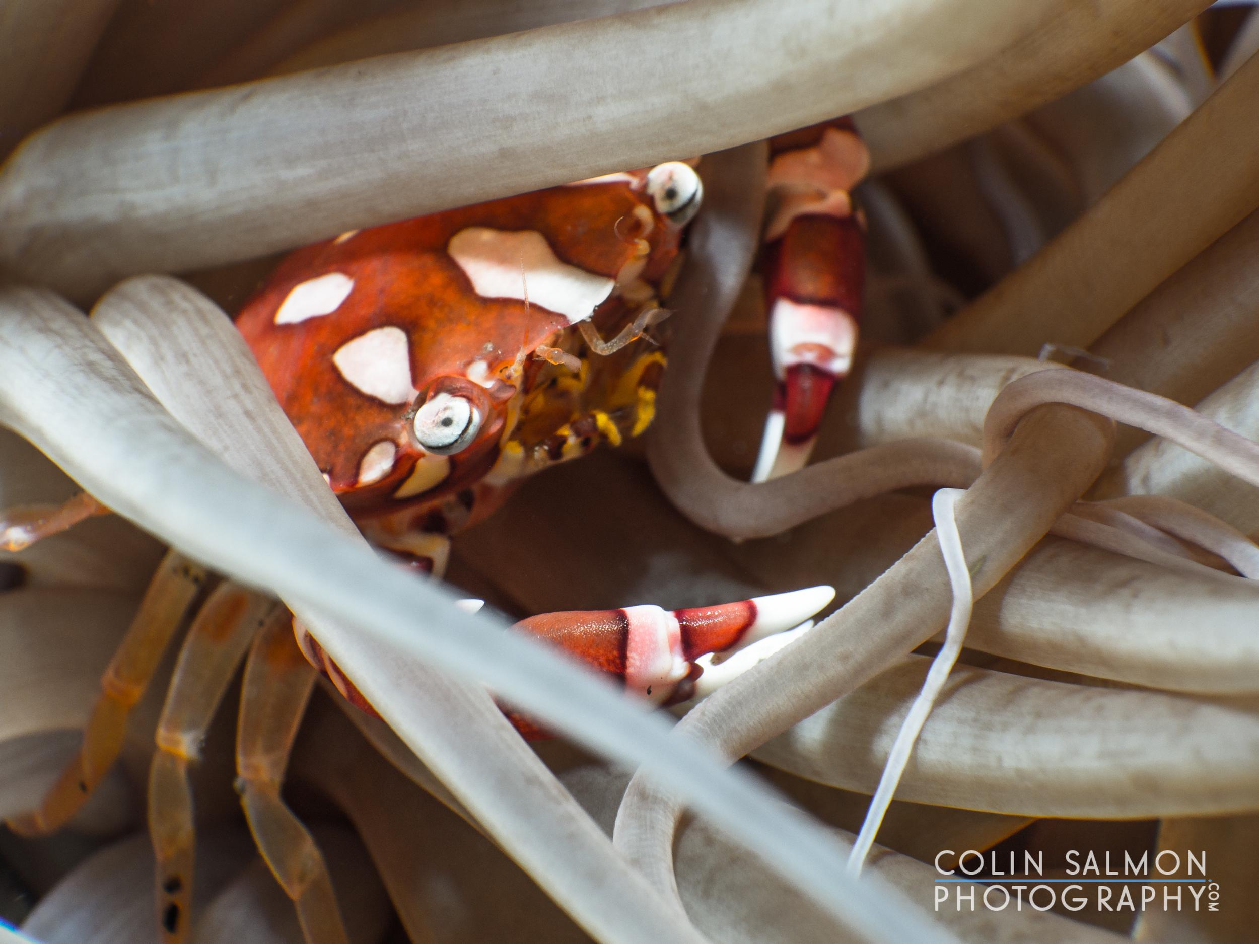 Harlequin crab  ( Lissocarcinus laevis ) -Dauin, Philippines