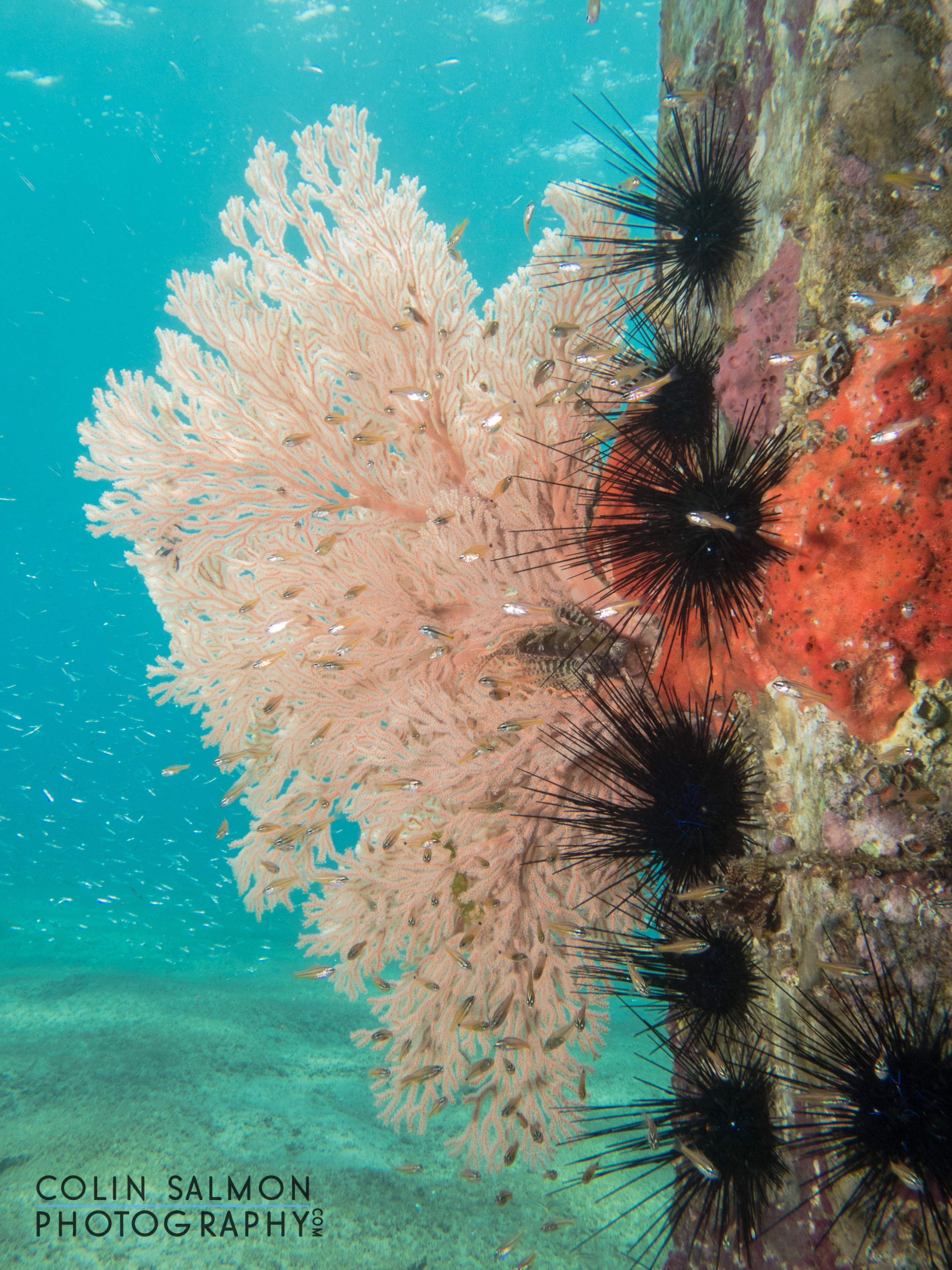 Gorgonian with long-spined sea urchins  (   Diadema antillarum)   -   Dauin, Philippines