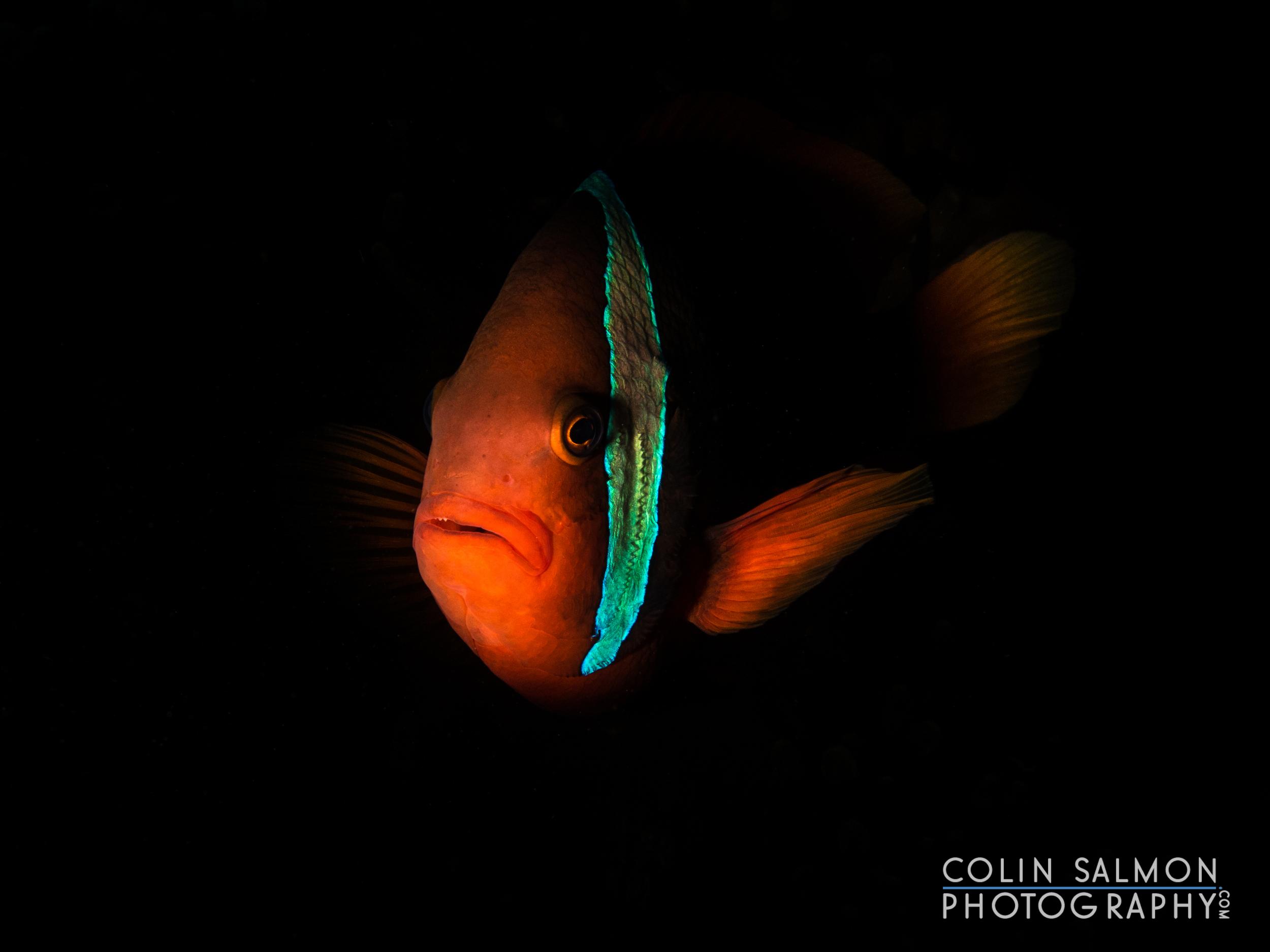 Orange clownfish  (Amphiprion percula)  - Dauin, Philippines
