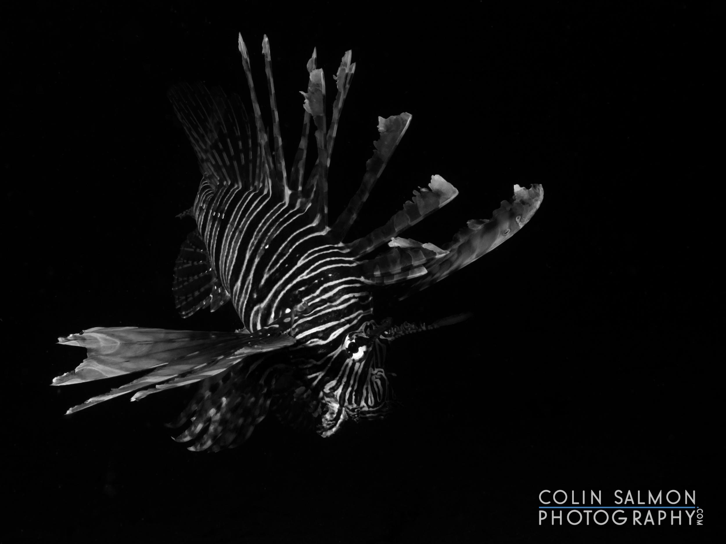 Red lionfish  (Pterois volitans)  -Dauin, Philippines