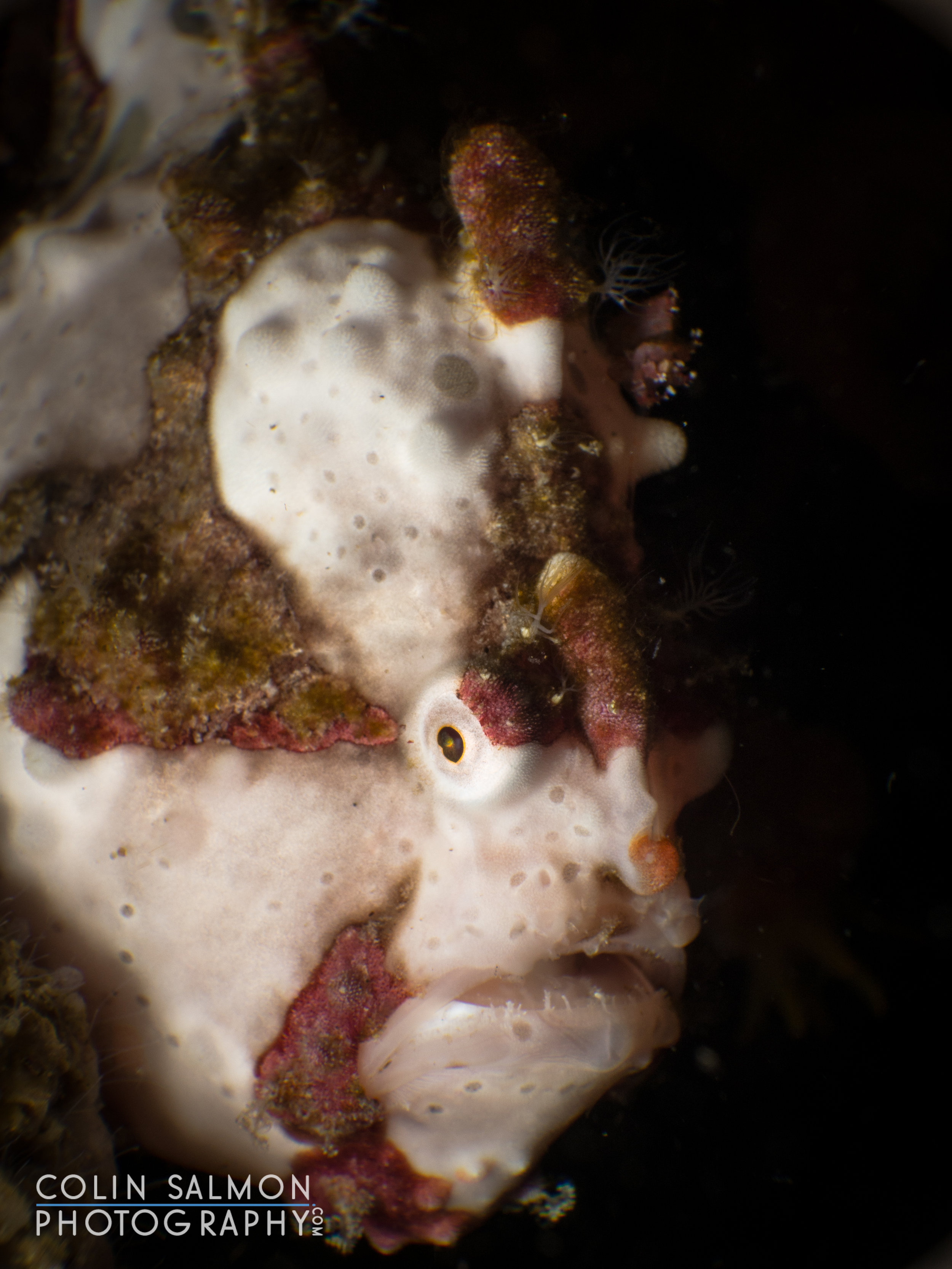 Warty frogfish  (Antennarius maculatus) - Dauin, Philippines