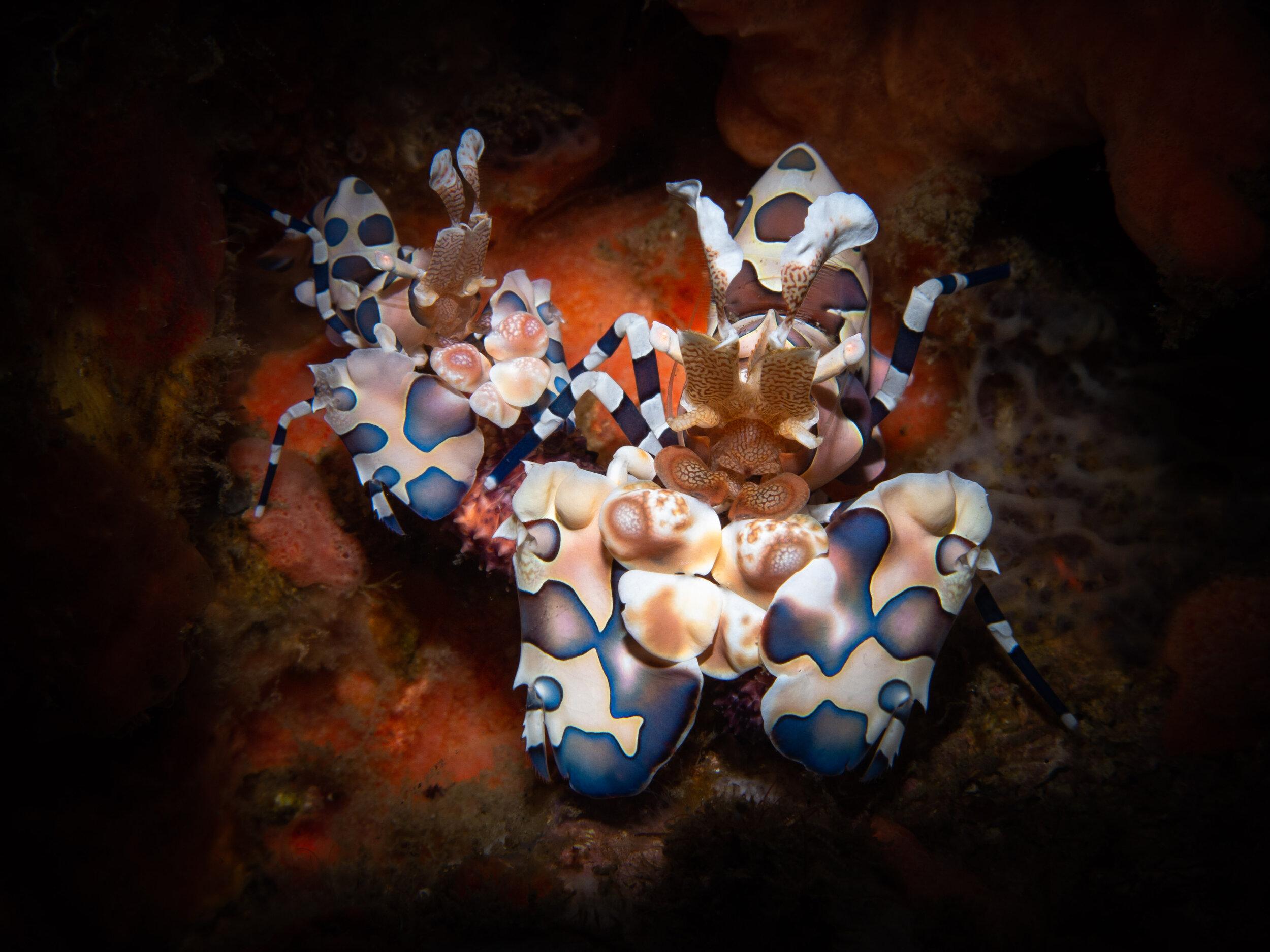 Harlequin shrimps  ( Hymenocera picta )