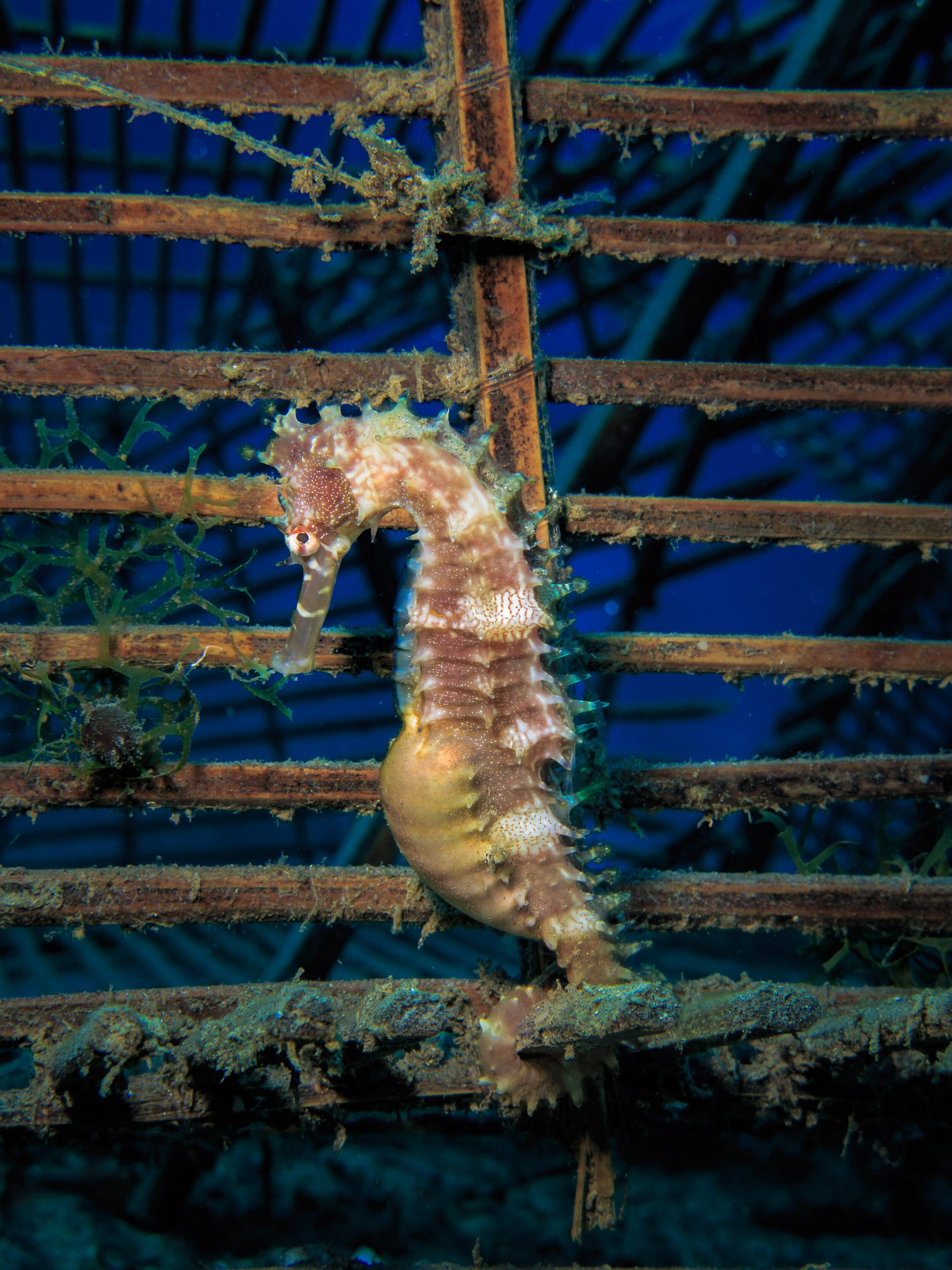 Spiny seahorse  (Hippocampus histrix)