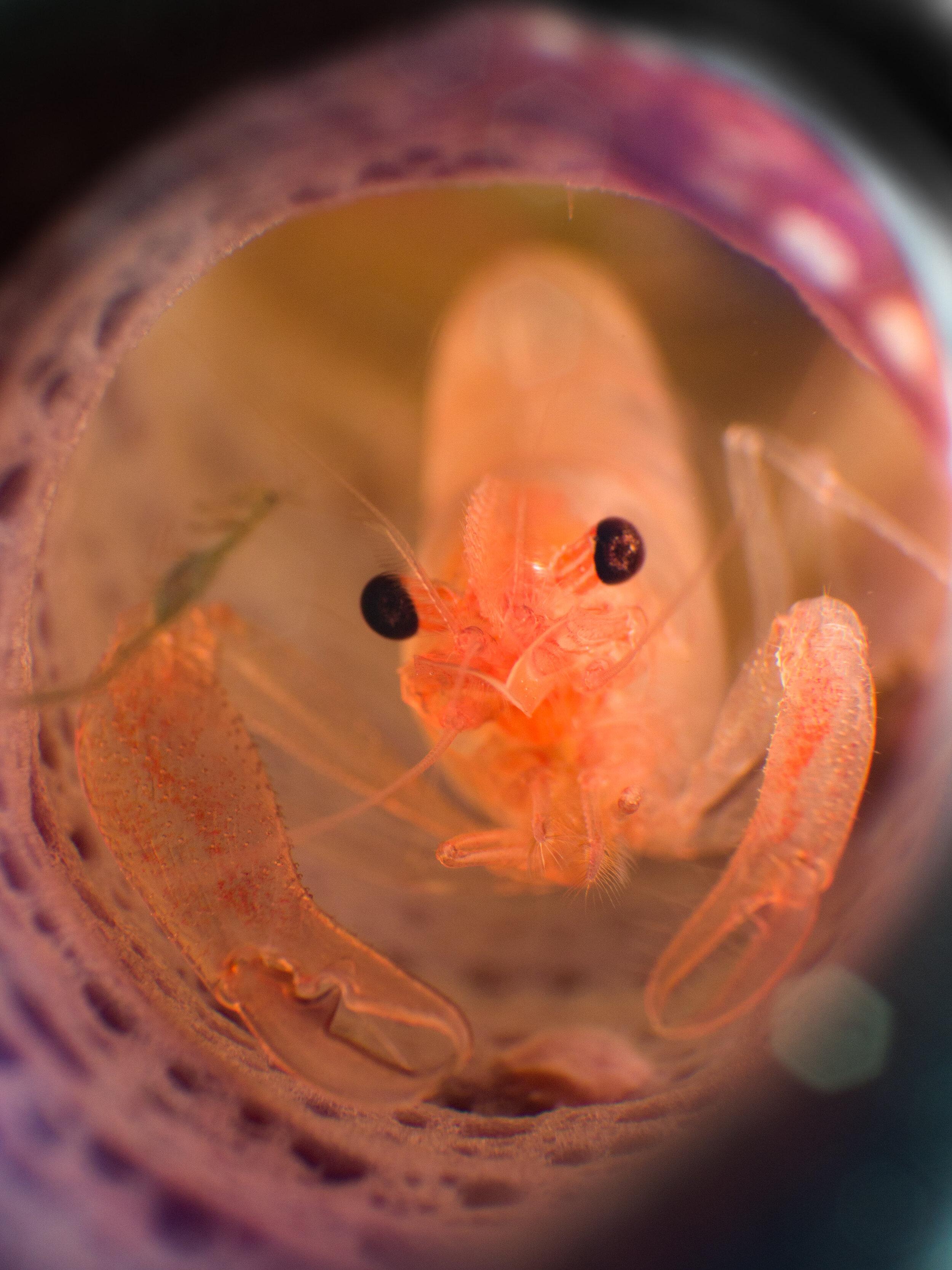 Commensal Sponge Shrimp  (Thaumastocaris streptopus)