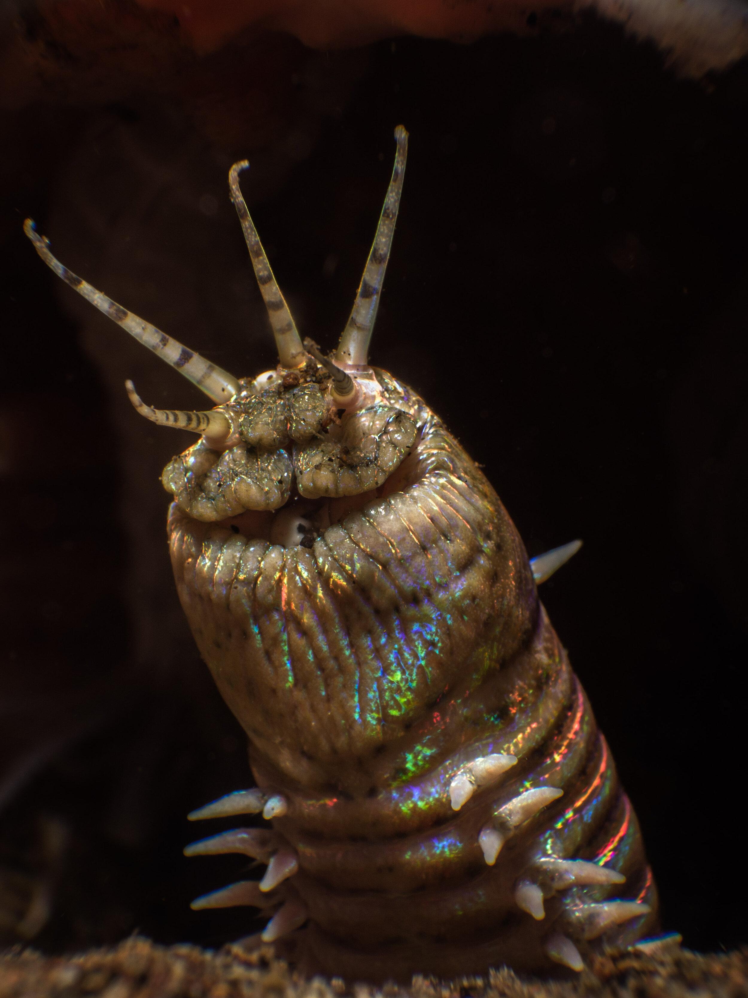 Bobbit worm  (Eunice aphroditois)