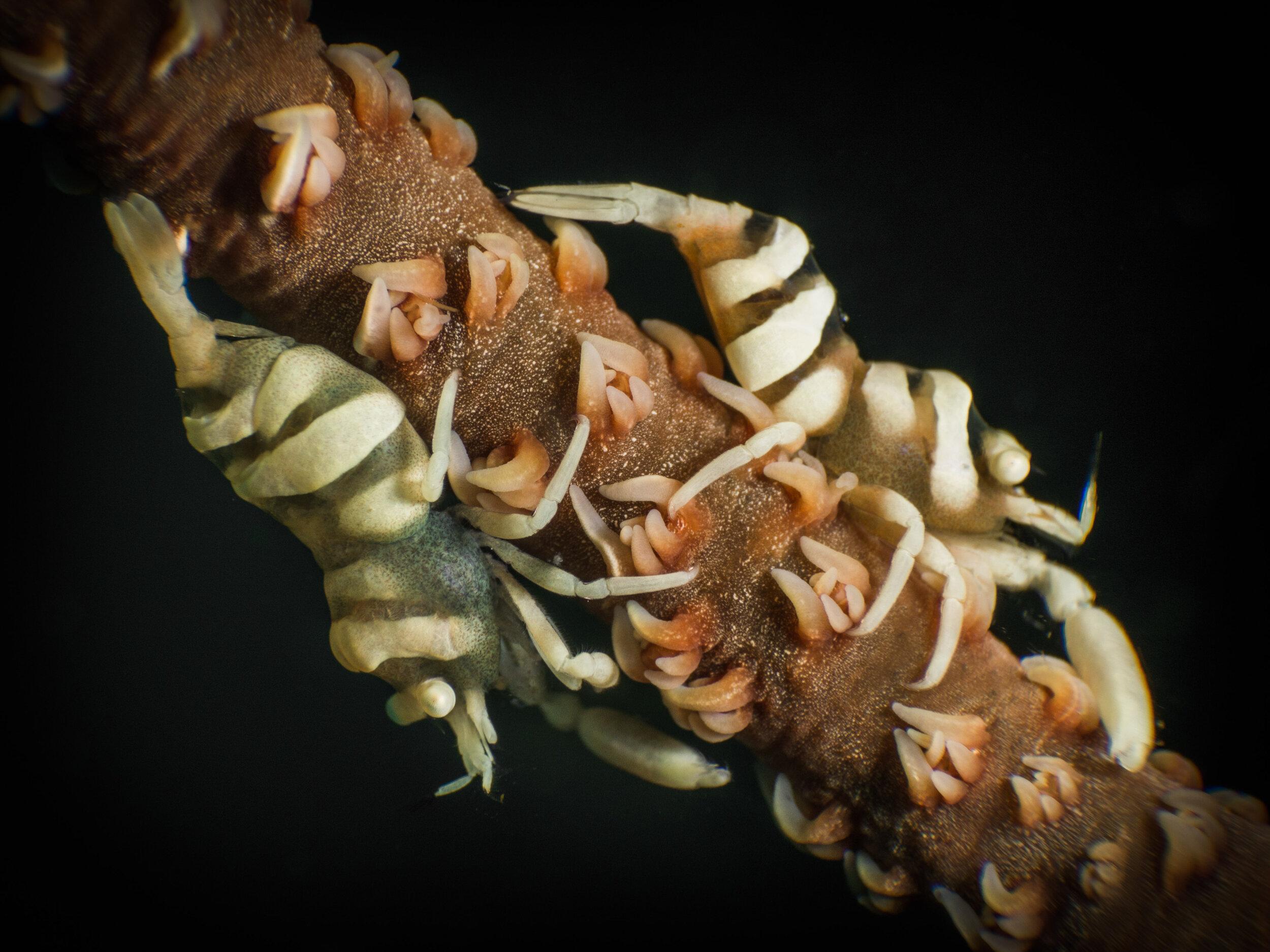 Whip Coral Shrimp  (Pontonides uncigar)