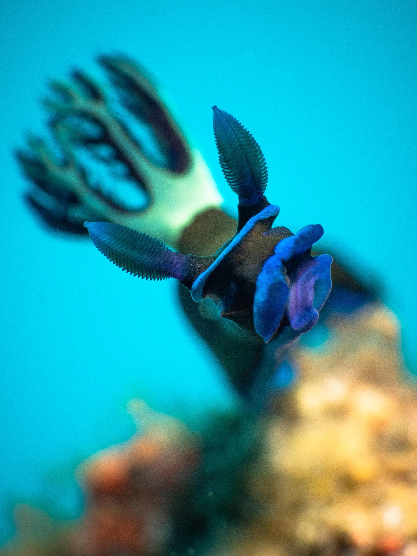 Nudibranch  (Tambja morosa)