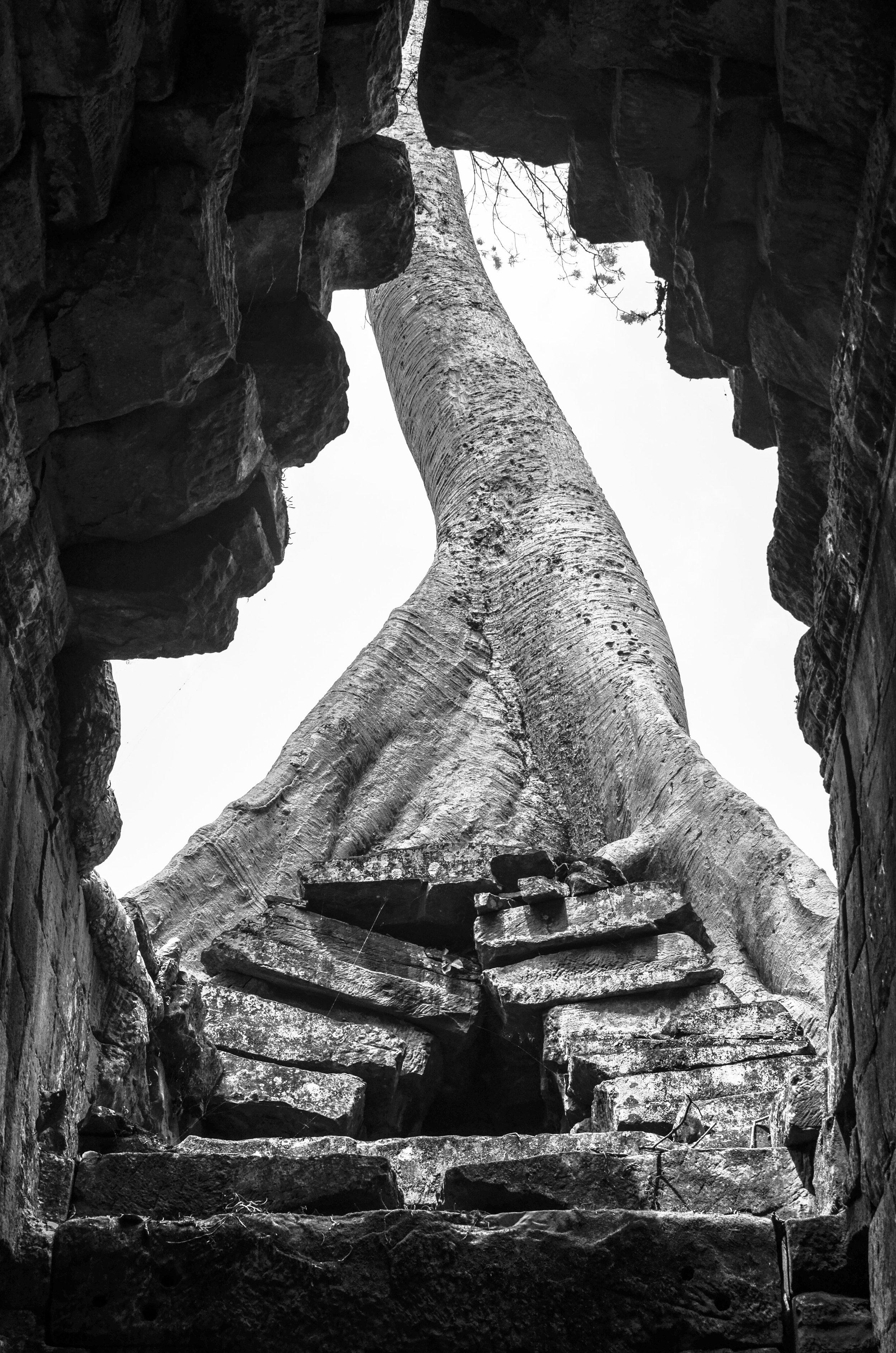 Banyan tree, Angkor Temples, Cambodia