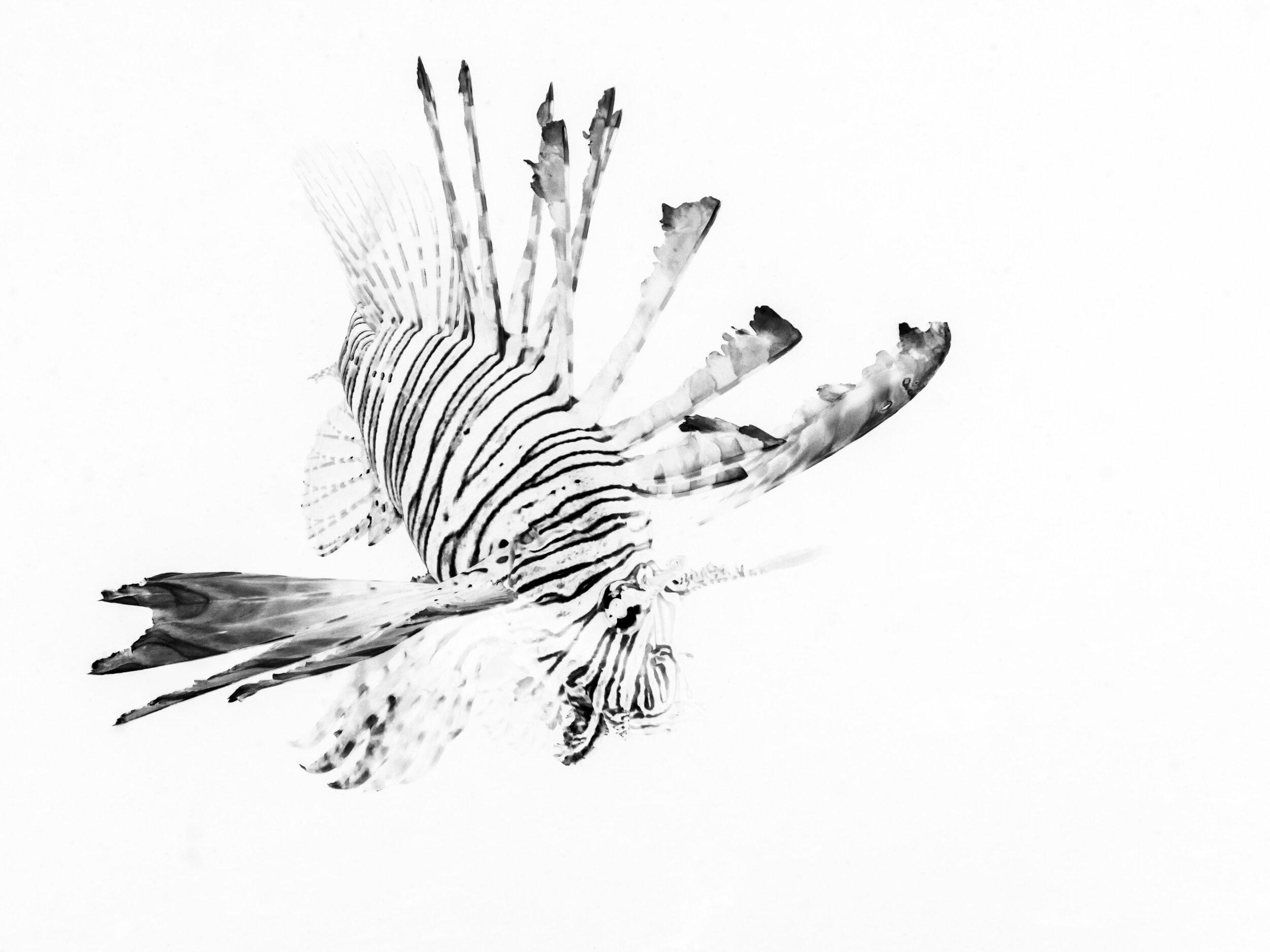 Lionfish underwater macro photography