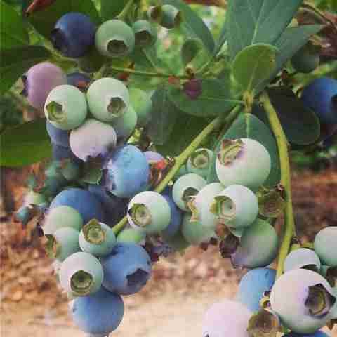 Blueberries in Santa Ynez Valley
