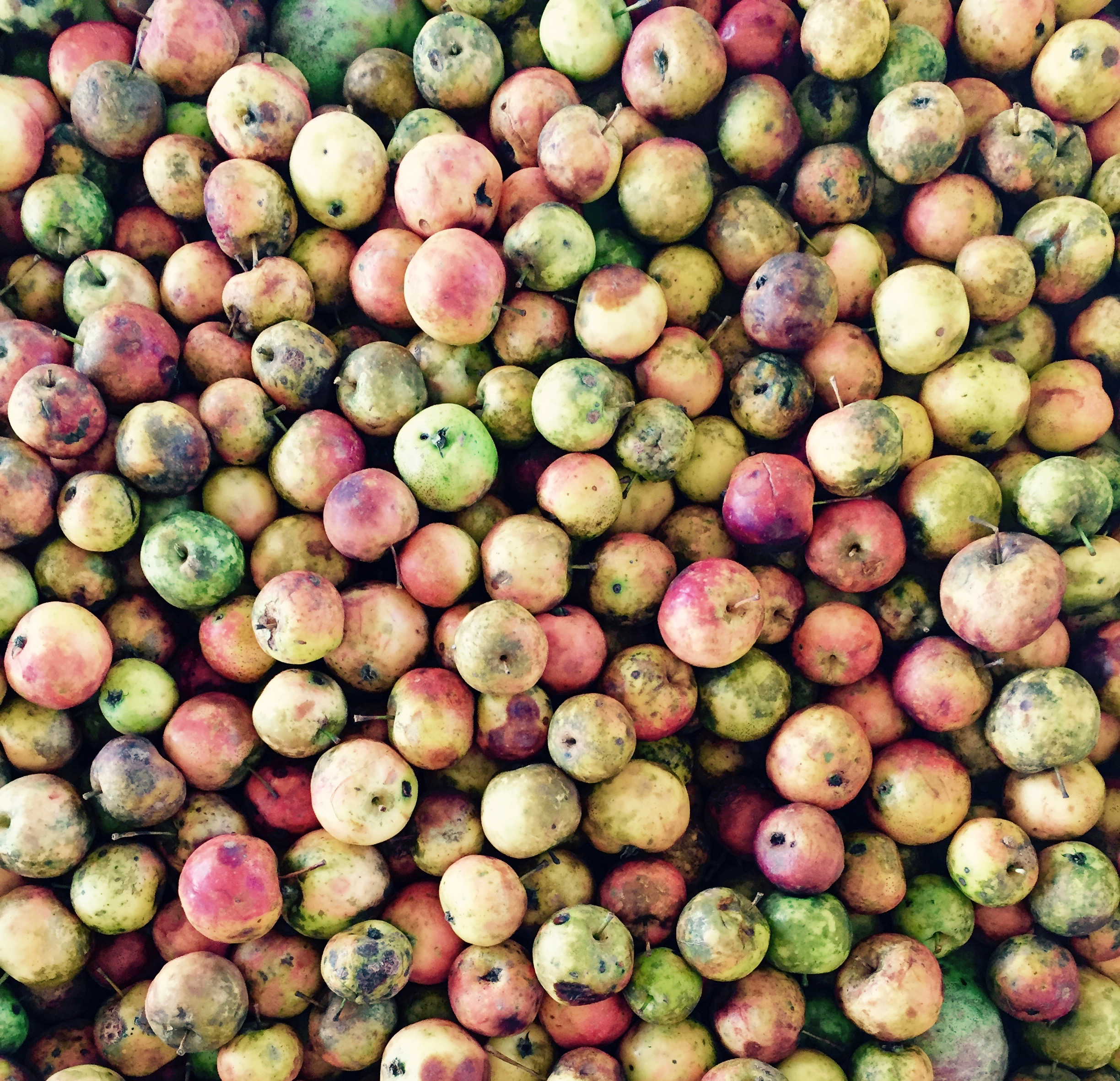 Hewe's Crab Apples from Foggy Ridge Orchard, Dugspur, Virginia