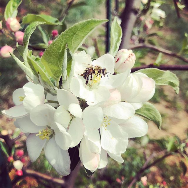 Hewes Crab apples are almost in full bloom at Bent Apple Farm.  Our (bee) friends from Faith Mountain Farm are taking good care of them. #bentapplefarmnc #faithmountainfarm #oldsouthernapples