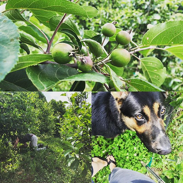 Not all orchard work is done standing up.  Milo helping sniff out pests while we battle borers in the tree trunks. #bentapplefarmnc #molleychompercider #germanshepherd #flipflopfarming #orchardtobottle
