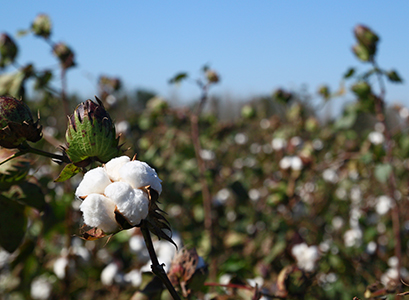 Cotton can also be sustainably cultivated with respect for people and the environment. The GOTS label is proof of this.