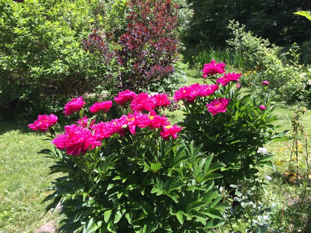 These are peonies along the garden path, among my favorites. This picture comes from last year;  these same ones are still tight buds this week, only a hint of pink showing.  That will change so fast.  It's a stunning event that always creates itself in time.  I think often of the of way that plants and flowers and weeds in the garden give us ways and clues about how to go for it.