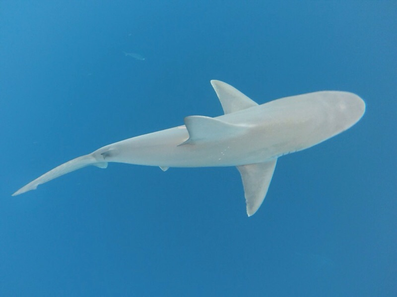 Galapagos shark captured and released by MS student Katie Viducic for research.