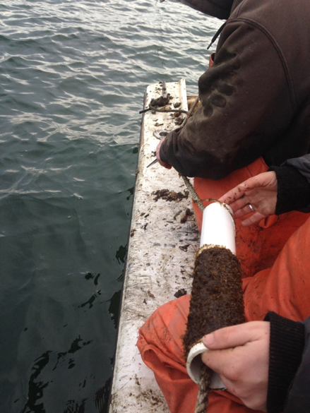 Russel Blank ties the seed line into the rope that kelp will be planted on while Dr. Lindsay Green-Gavrielidis holds the tube of kelp she grew. Photo Credit: Celeste Venolia.