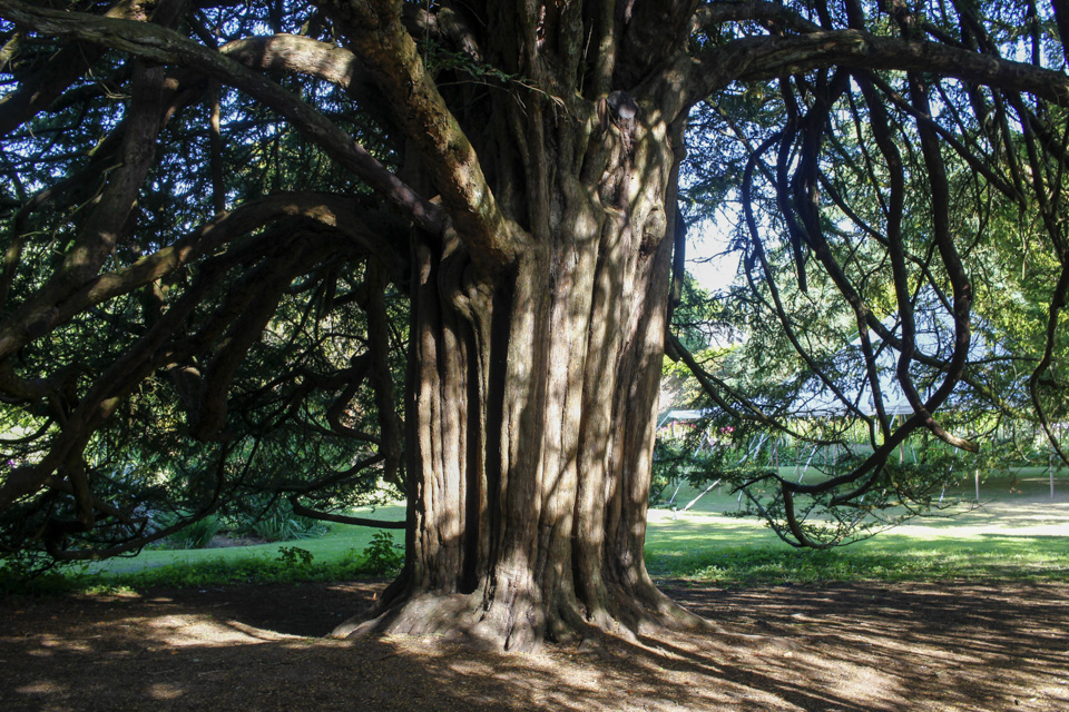 1000 year old yew trees at Kelburn Castle, Scotland