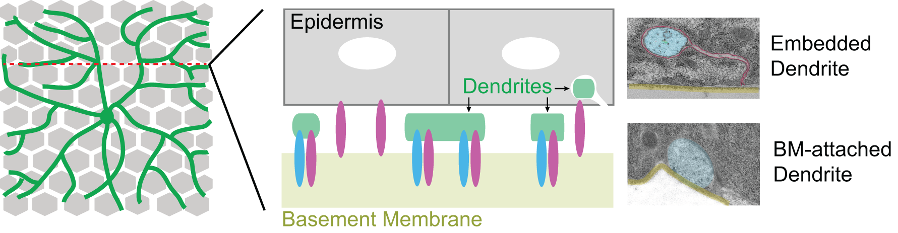 Drosophila  larval sensory dendrites (green) grow over a monolayer of epithelial cells (gray) in a mostly two-dimensional plane, attached to a collagen-rich basement membrane (BM, tan) along the basal surface of epithelial cells by virtue of neuronal Integrin (magenta) and Ret (blue). The basement membrane is likewise tethered to the epidermis by epithelial Integrins. The majority of dendrites are positioned at the basal plasma membrane of epithelial cells (BM-attached dendrites; shown at high magnification in a TEM micrograph at right), but a small portion of dendrites become embedded in the epidermis.
