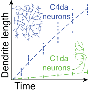 dendrite growth.png