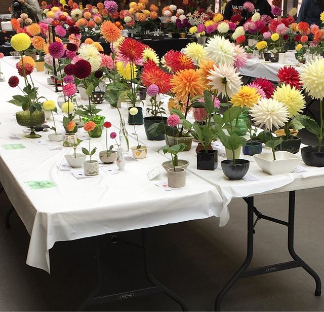Fun fact: the dahlia is the official flower of San Francisco. Don't miss the Dahlia Show at the Hall of Flowers this weekend! It's beautiful to imagine fields of dahlias growing in the Portola District back when all the family flower nurseries were in production.