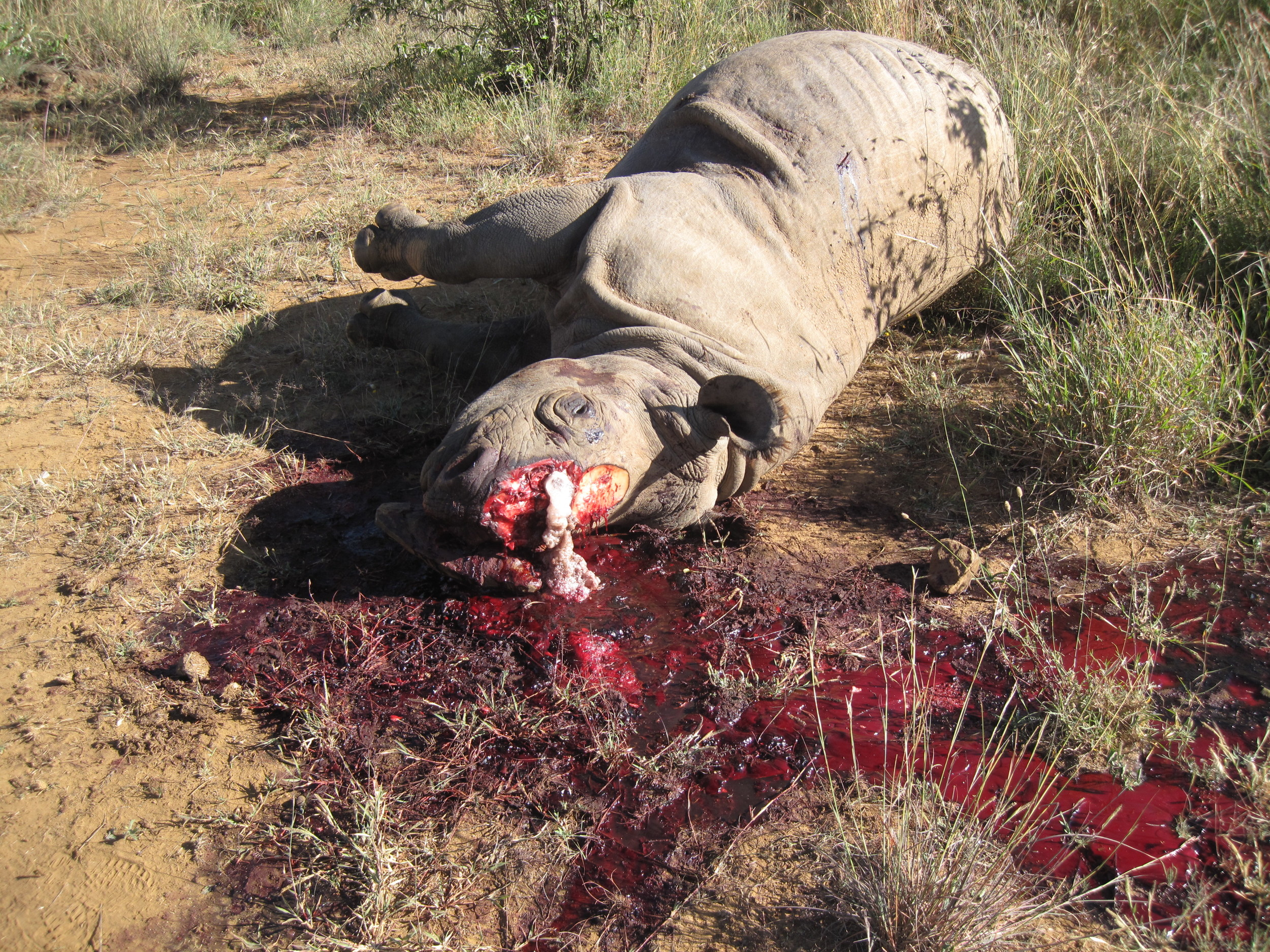 Another casualty of wildlife terrorism, an African white rhino, in Kenya on 10/11/2011. Image courtesy of Claus Mortenson.