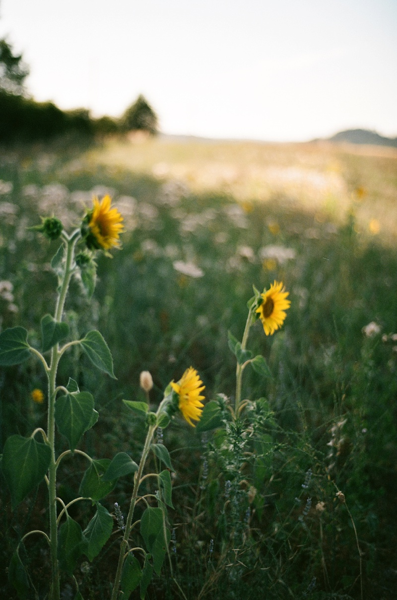 Backlit sunflowers is always a good idea