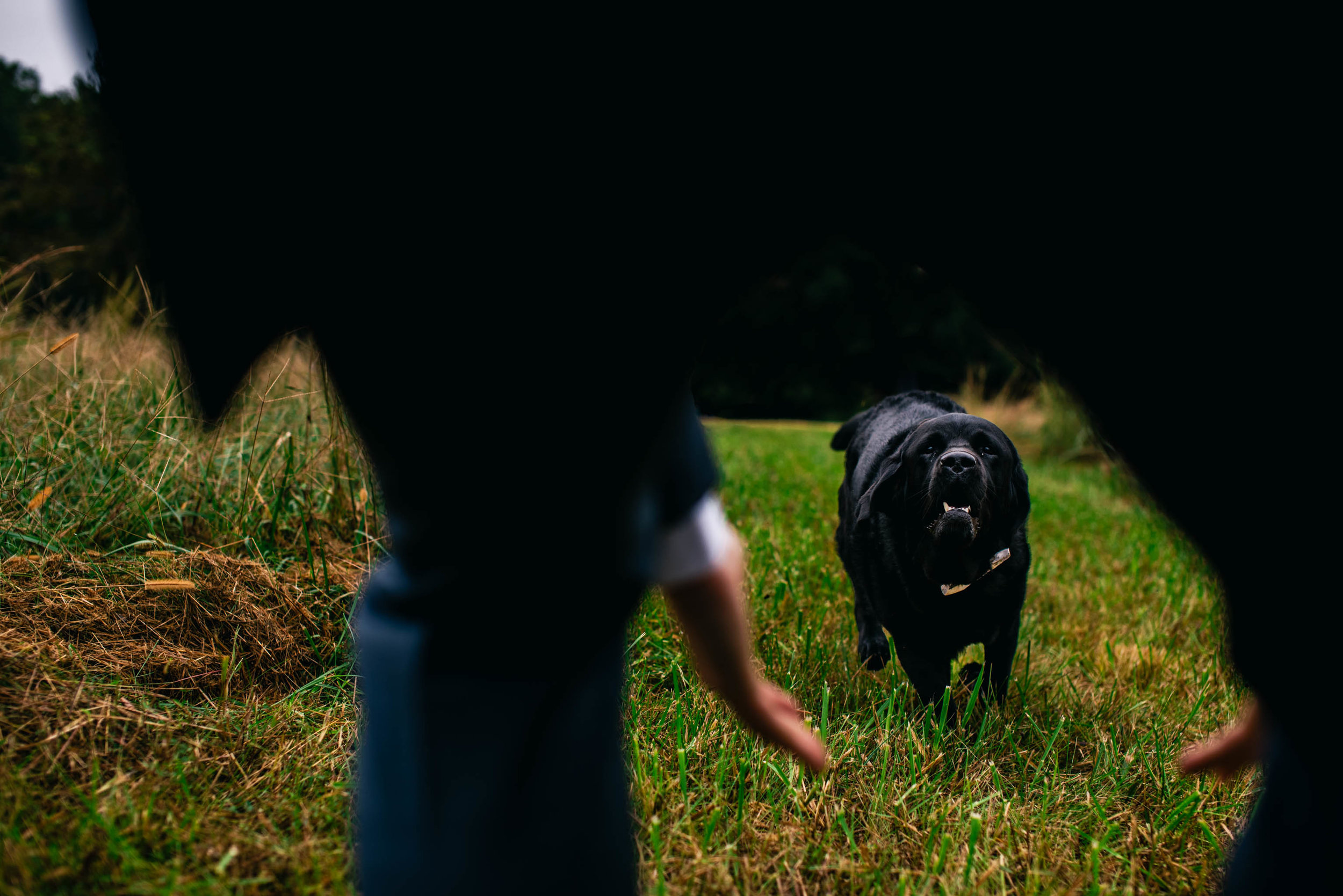 bride and grooms labrador retriever running to see the groom