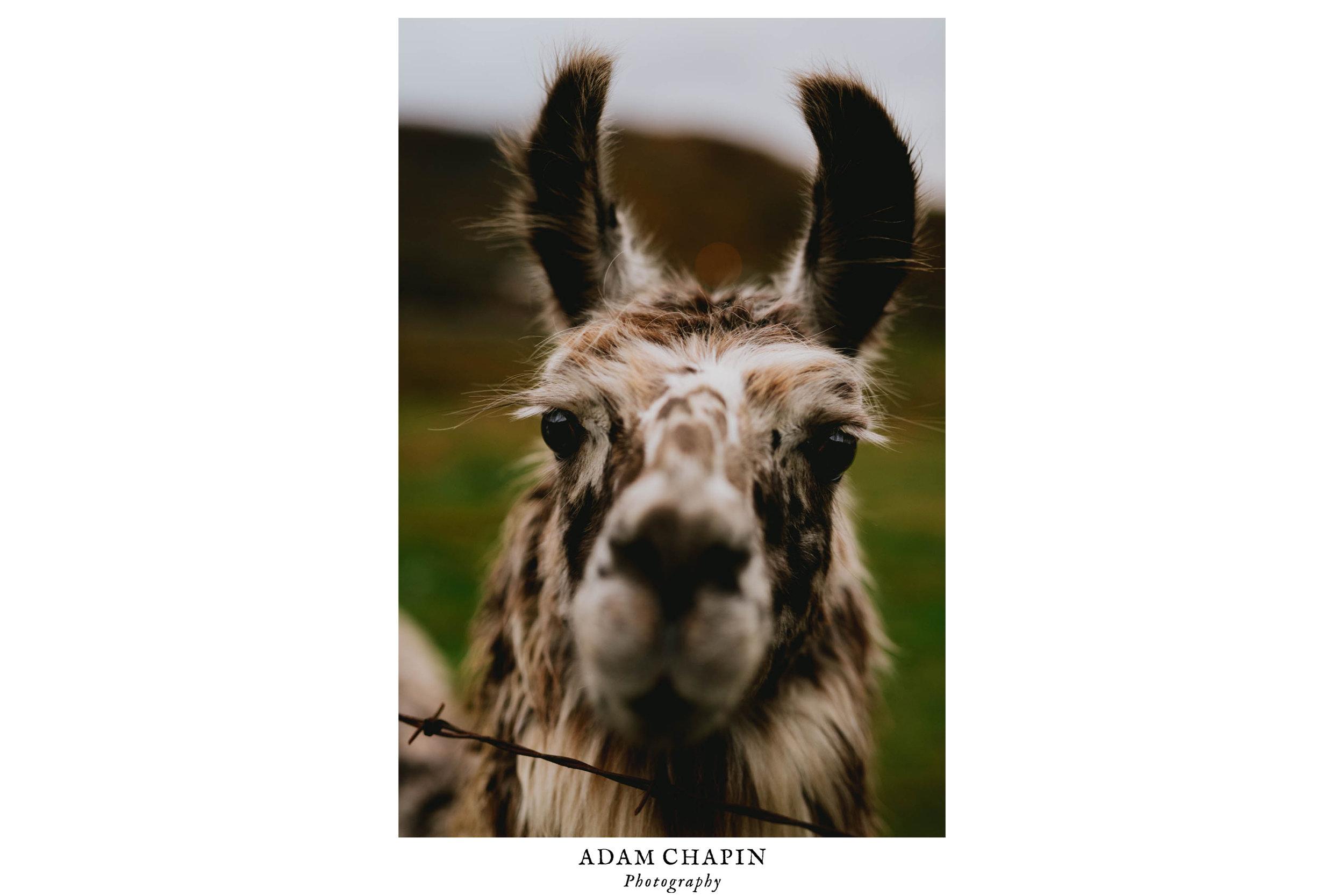 chocochip the llama