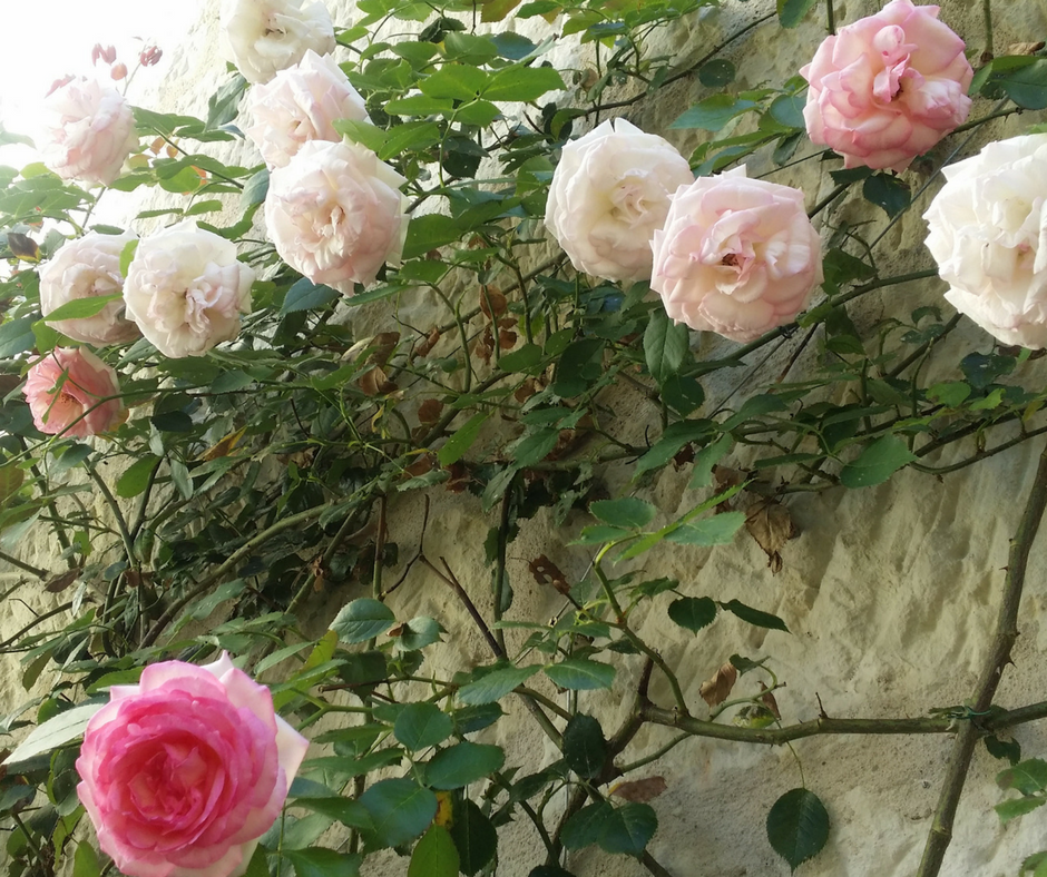 Trailing Rose FB.png