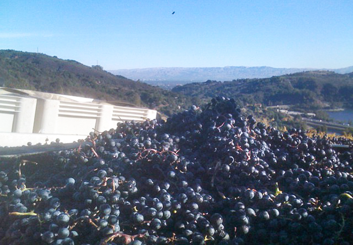 Kathryn Kennedy winemaker Marty Mathis snaps a shot of the 2014 Merlot harvest in the Santa Cruz Mountains