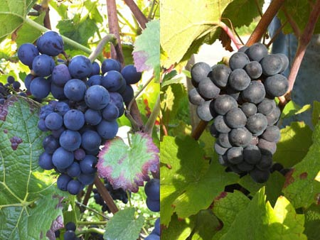 Pinot Noir on the left and Pinot Meunier on the right. Meunier's clusters are a bit more oblong than Pinot Noir's and its leaves are more indented; Pinot Noir is known for triangular bunches and round leaves.