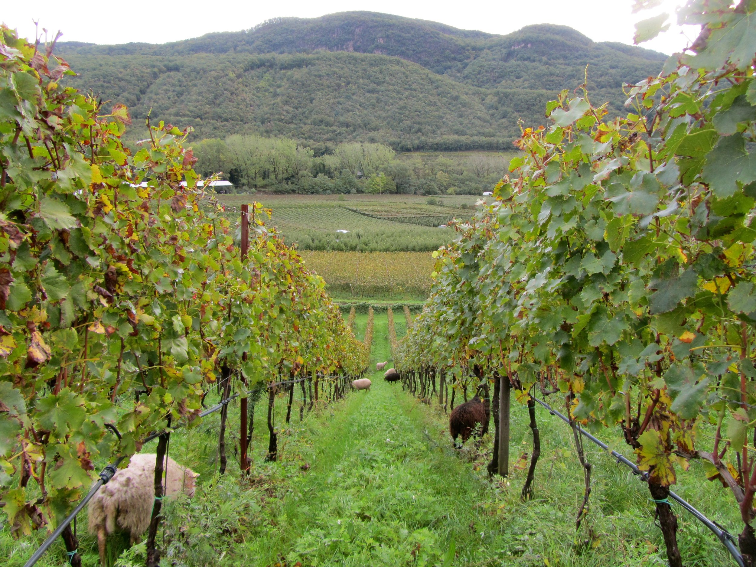 Manincor-Biodynamic-Vineyards-in-Alto-Adige-Italy.jpg