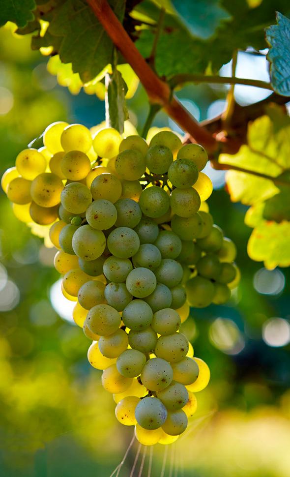 Chardonnay-Grapes1.jpg
