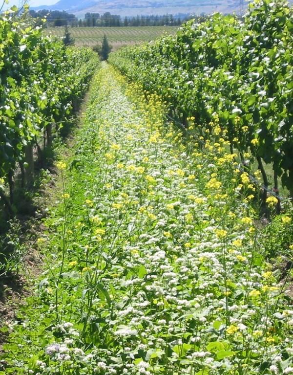 felton-road-buckwheat-mustard-cover-crop.jpg