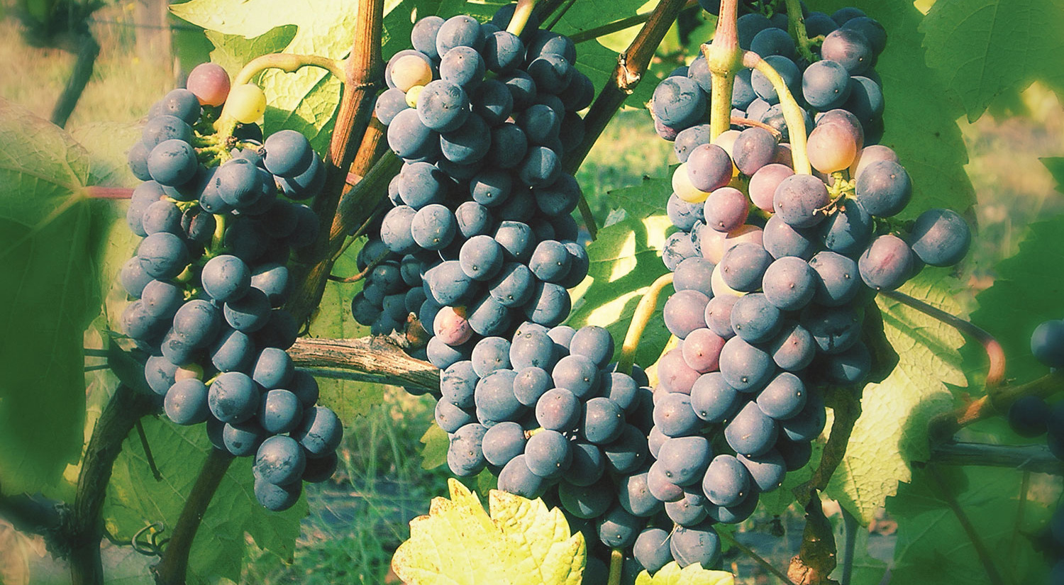 domainejasmin_grapes_1.jpg