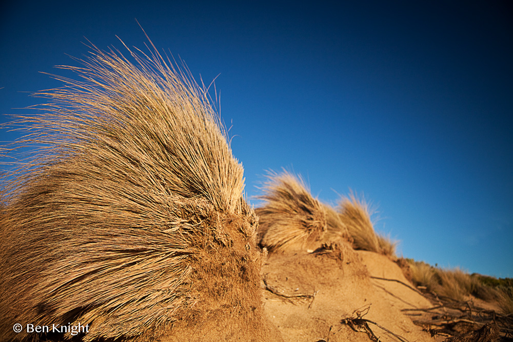 Tussock Grass, Sorrento, Mornington Peninsula, Victoria, Australia