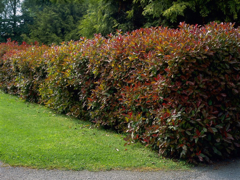 pruned-hedge-christmas-berry--photinia-x-fraseri---red-robin--130793602-599b695d519de20011fb3c34.jpg